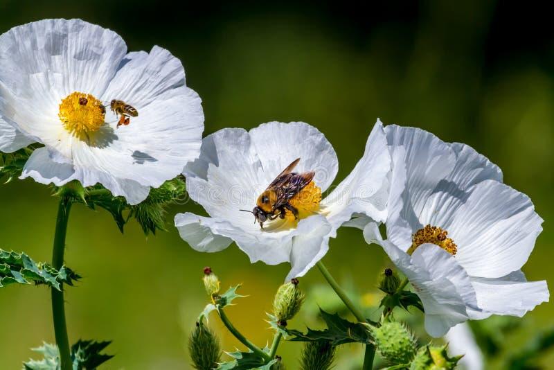 Plan rapproché de deux abeilles sur Poppy Wildflower Blossoms épineuse blanche i image stock