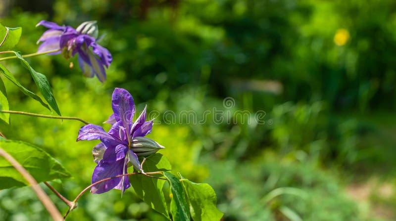 Plan rapproché de deux fleurs de clématite pourpre sur le fond vert trouble de jardin photo libre de droits