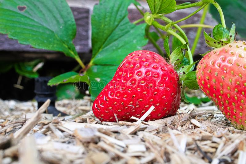 Plan rapproché de deux fraises sur le muclh de chanvre image libre de droits