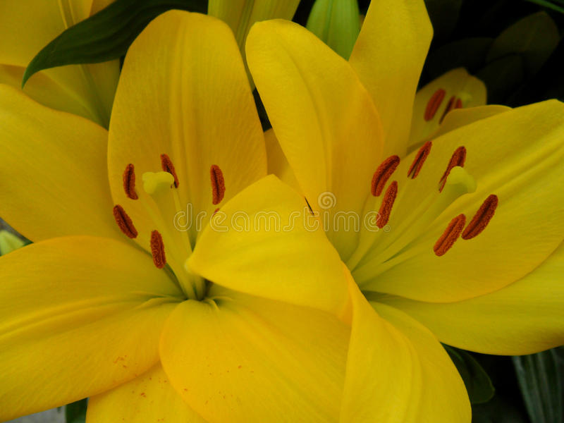 Plan rapproché de deux lis jaunes vifs de floraison avec le pollen rouge de velours images stock