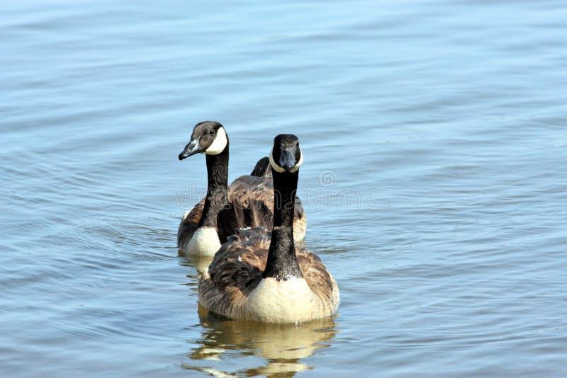 Plan rapproché de deux oies de Canada nageant dans le lac photo stock