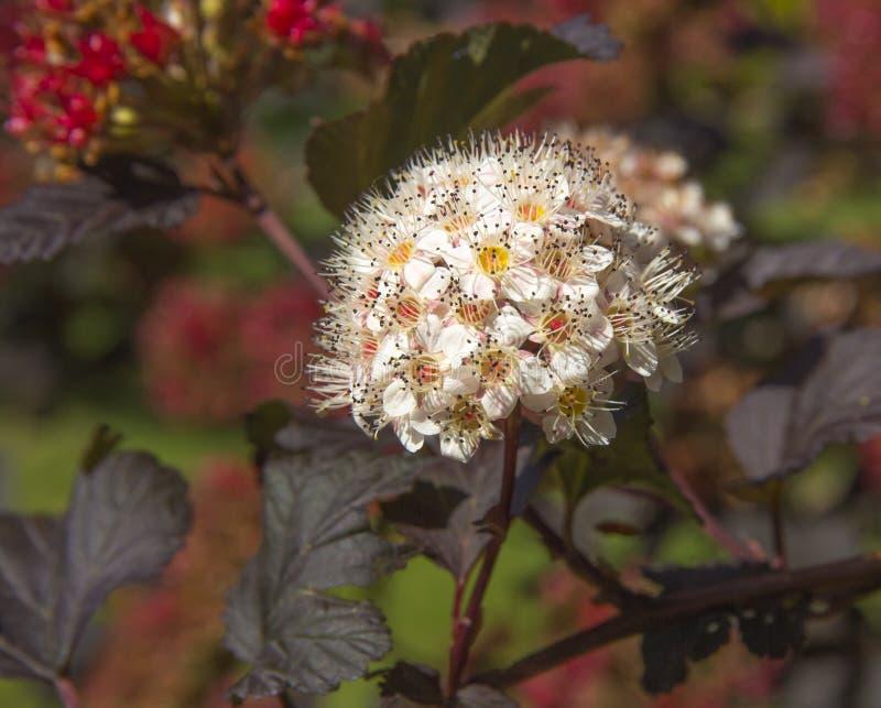 Plan rapproché de Diablo Ninebark de floraison photo stock