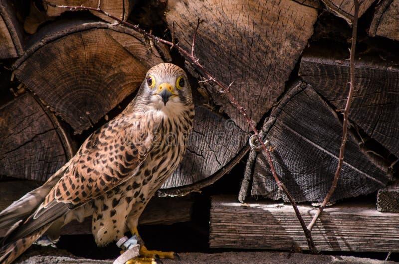 Plan rapproché de faucon de crécerelle images libres de droits