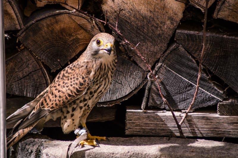 Plan rapproché de faucon de crécerelle photo libre de droits