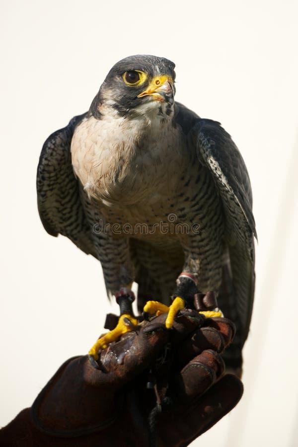 Plan rapproché de faucon pérégrin sur le gant de fauconnerie photographie stock