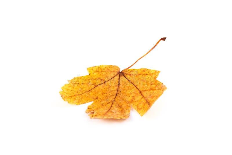 Plan rapproché de feuille d'automne d'érable sur le blanc images libres de droits