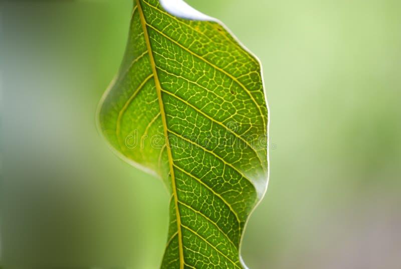 Plan rapproché de feuille de vert de mangue images libres de droits