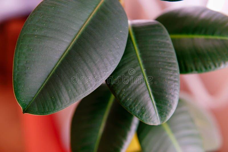 Plan rapproché de feuilles d'elastica de ficus de plante d'intérieur grand photographie stock libre de droits