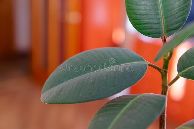 Plan rapproché de feuilles d'elastica de ficus de plante d'intérieur grand image libre de droits