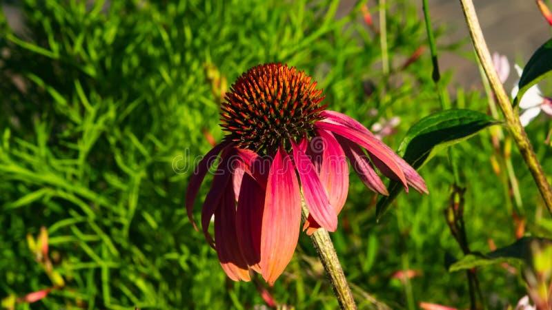 Plan rapproché de fleur coneflower ou de purpurea pourpre d'Echinacea au parterre, foyer sélectif, DOF peu profond photos stock