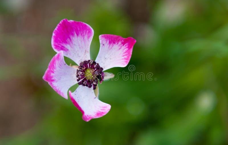 Plan rapproché de fleur d'Anemone Coronaria ou de pavot photos libres de droits