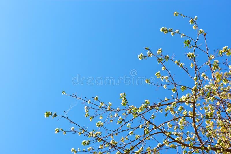 Plan rapproché de fleur d'Apple sur un fond bleu-clair photo stock