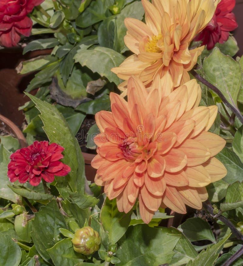 Plan rapproch? de fleur de dahlia de jardin photos libres de droits