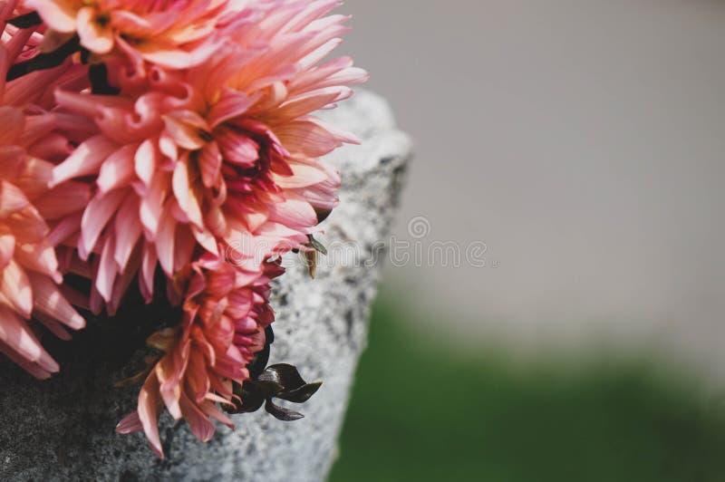 Plan rapproché de fleur de dahlia, sur une roche photographie stock libre de droits