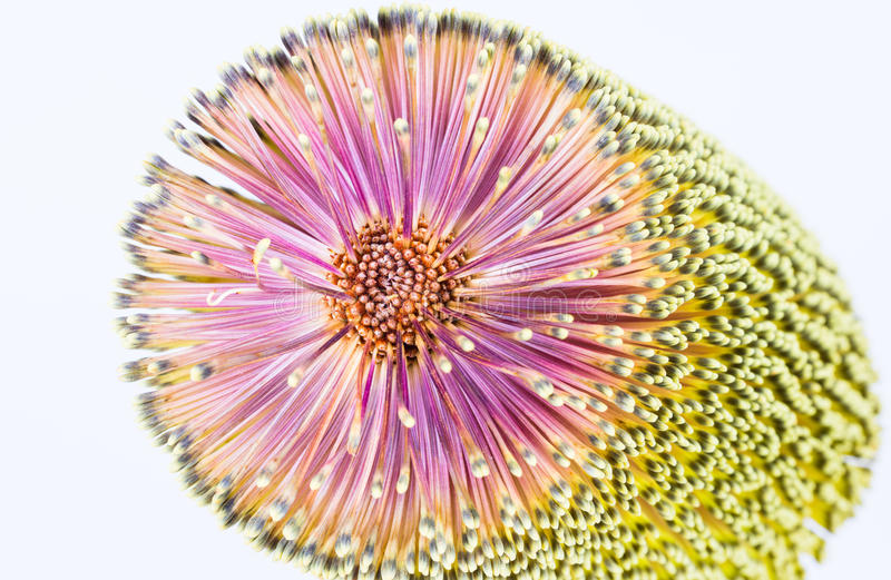 Plan rapproché de fleur de Banksia images libres de droits