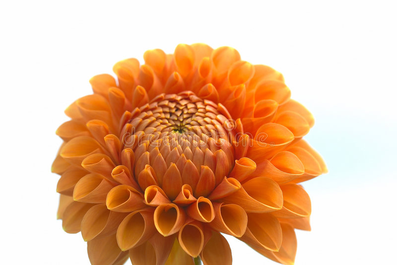 Plan rapproché de fleur de dahlia photos libres de droits