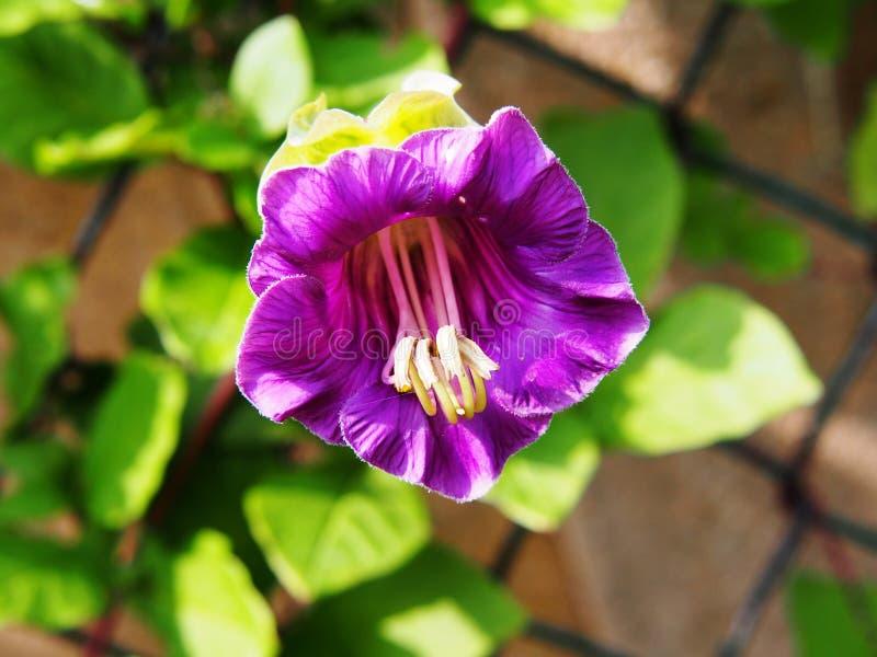 Plan rapproché de fleur de scandens de Cobaea photos stock