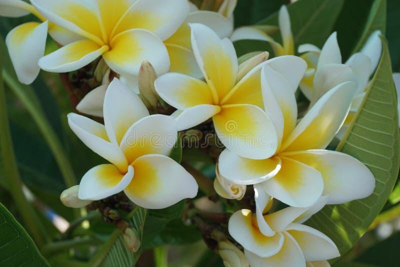 Plan rapproché de fleur de Frangipani La station thermale exotique de plumeria fleurit sur le fond tropical de feuille verte Beau photo libre de droits