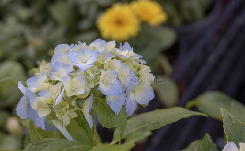 Plan rapproché de fleur de macrophylla d'hortensia Bleu dans les tons blancs Fond brouill? photos libres de droits