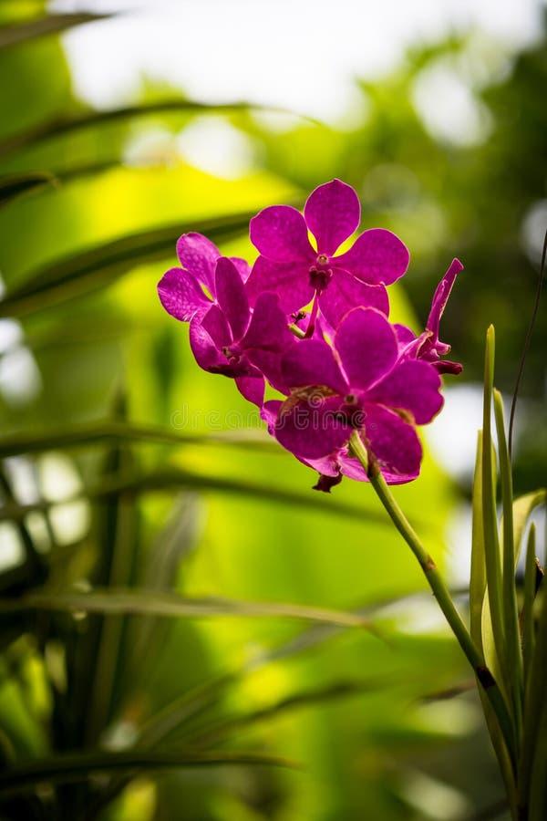 Plan rapproché de fleur magenta d'orchidée dans le jardin avec le fond diffus photos stock