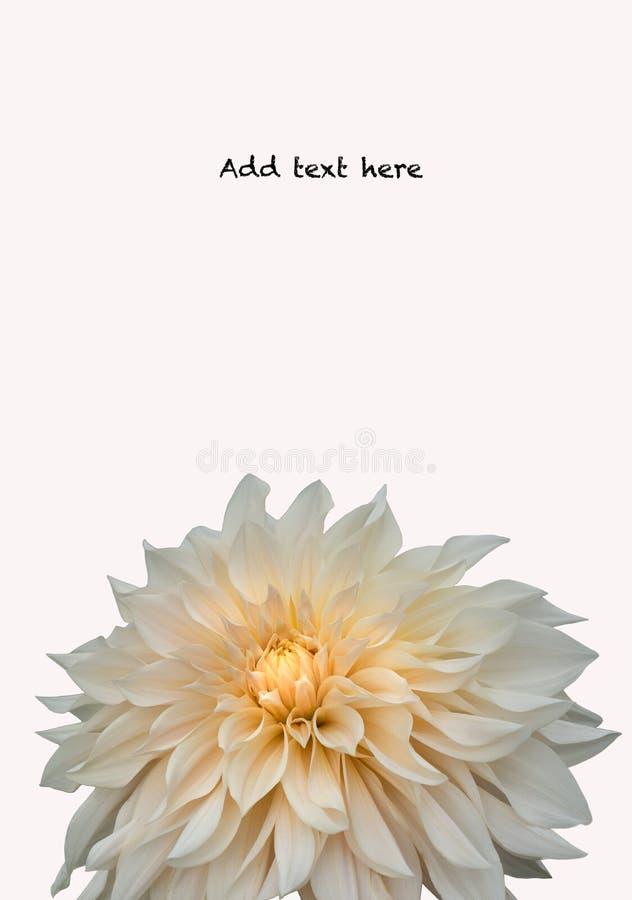 Plan rapproché de fleur de maman de chrysanthème sur le fond blanc photos libres de droits