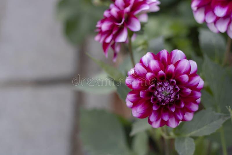 Plan rapproché de fleur de pinnata de dahlia Tons pourpres et andins Fond brouill? photo libre de droits