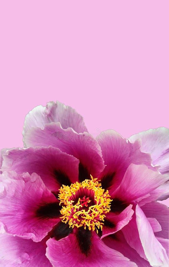 Plan rapproché de fleur de pivoine sur l'espace vertical de copie de fond de rose image libre de droits