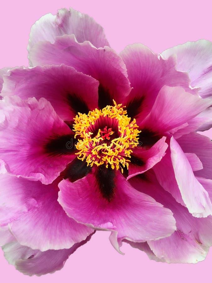 Plan rapproché de fleur de pivoine sur le fond rose photo stock