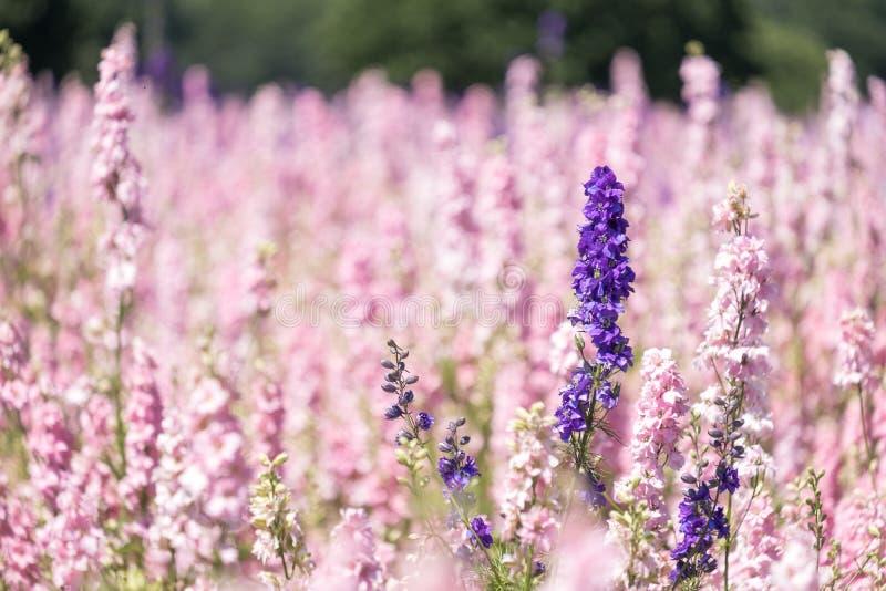 Plan rapproché de fleur pourpre de delphinium dans le domaine à la mèche, Pershore, Worcestershire, R-U Les pétales sont utilisés images libres de droits