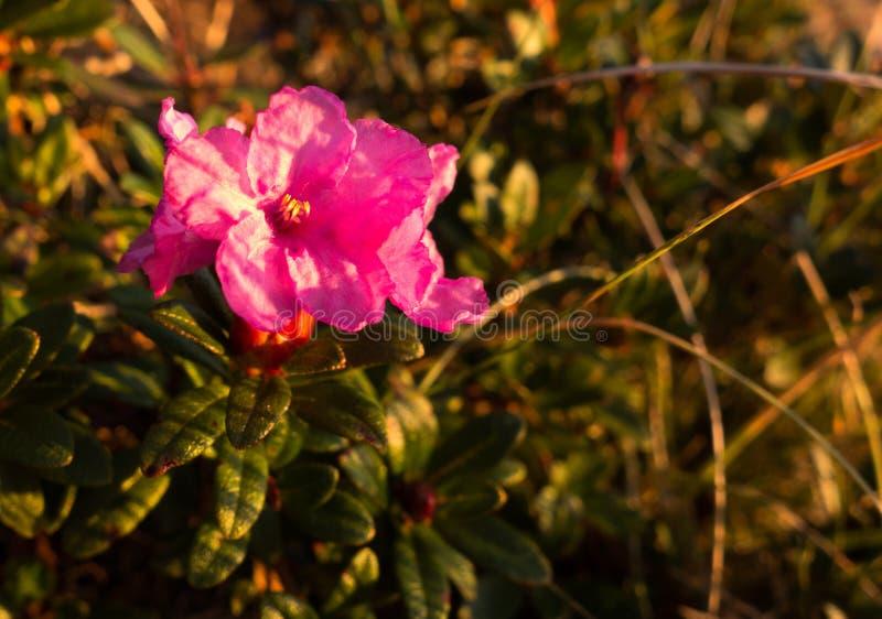 Plan rapproché de fleur de rhododendron en montagnes de Bucegi, Roumain Carpathiens images libres de droits