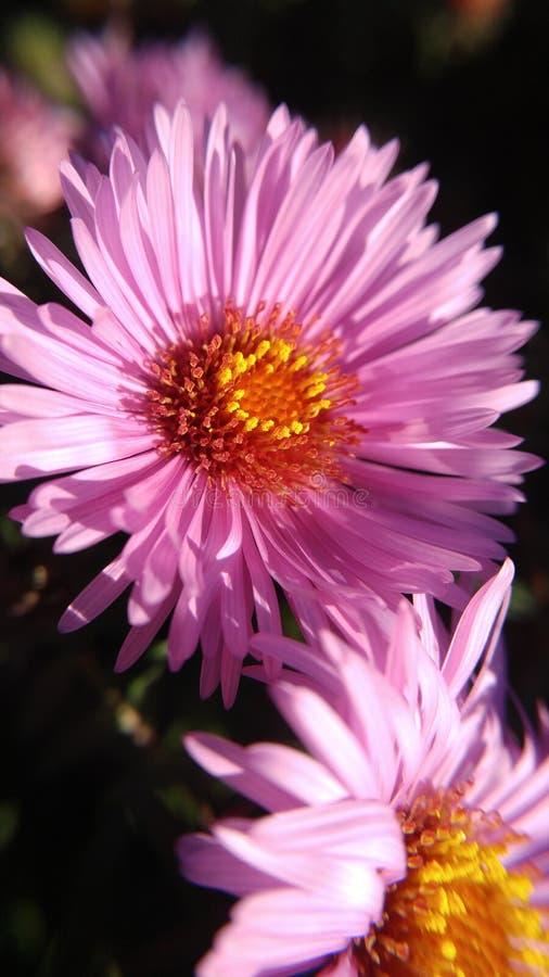 Plan rapproché de fleur rose Crysanthemum images stock