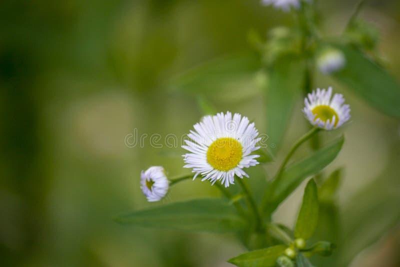 Plan rapproché de fleur rose de marguerite blanche Un endroit pour ajouter le texte sur l'herbe verte trouble et la silhouette de photographie stock