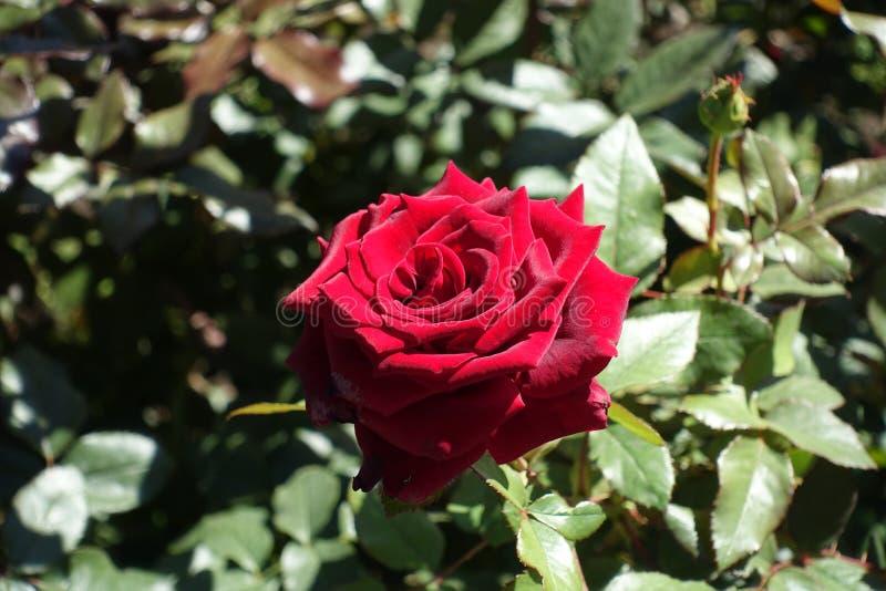 Plan rapproché de fleur rouge foncé de rose image libre de droits