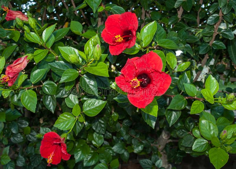 Plan rapproché de fleur rouge de ketmie sur un buisson image stock
