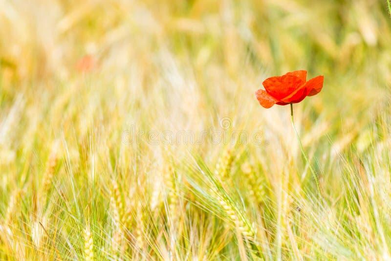 plan rapproché de fleur rouge de pavot en jaune photo libre de droits