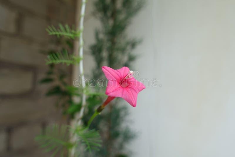 Plan rapproché de fleur rouge de quamoclit d'Ipomoea photographie stock libre de droits