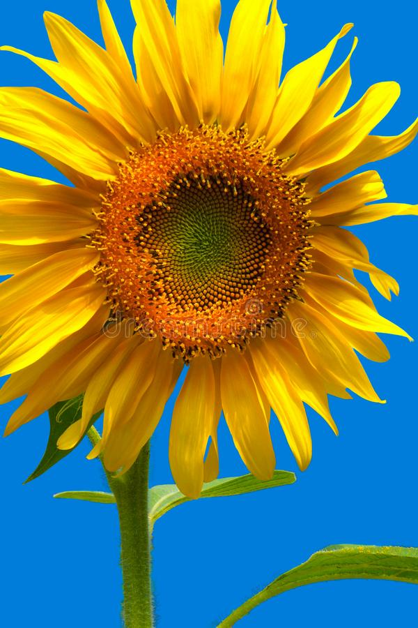 Plan rapproché de fleur de tournesol sur la verticale bleue de fond photo stock