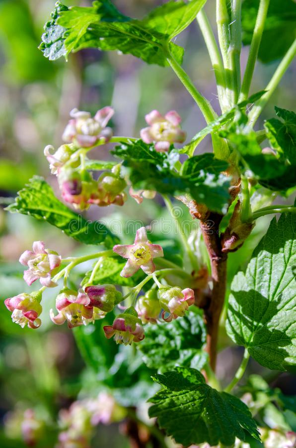 Plan rapproché de fleurs de groseille photo stock