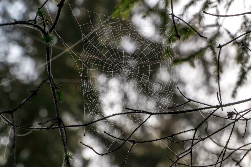 Plan rapproché de Forest Cobweb image libre de droits