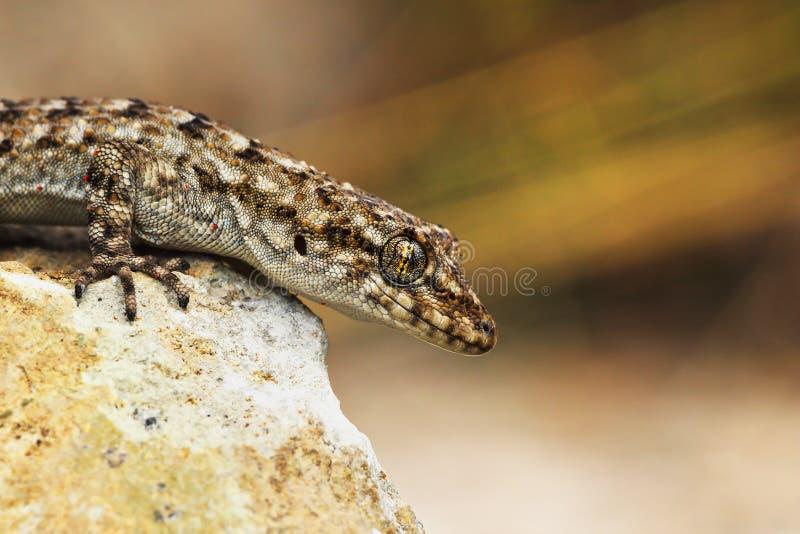 Plan rapproché de gecko Nu-botté avec la pointe du pied par s de ` de Kotschy photos stock