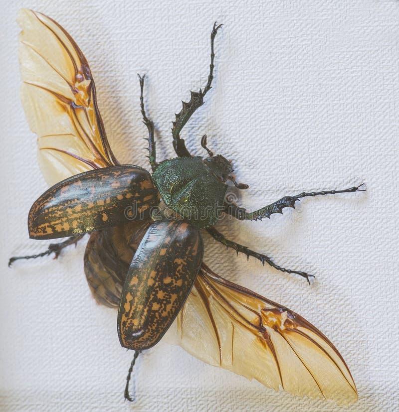 Plan rapproché de gestroi de Cheirotonus de scarabée de Skarabeidae photos stock