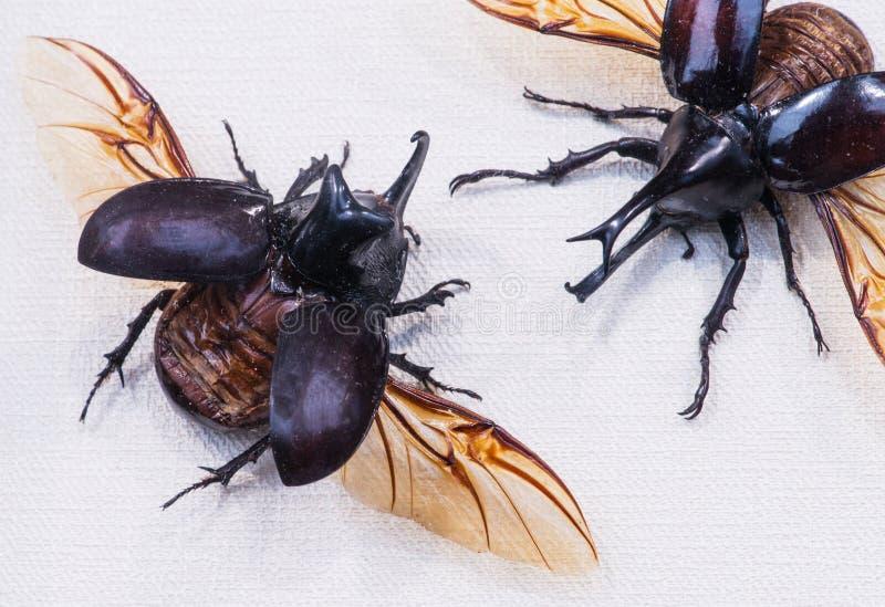 Plan rapproché de gideon de Gideon Xylotrupes de scarabée de rhinocéros contre la betterave photo libre de droits