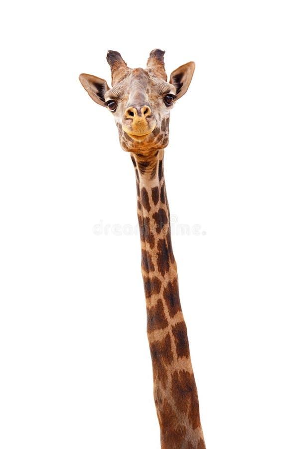 Plan rapproché de girafe d'isolement - expression heureuse photo stock