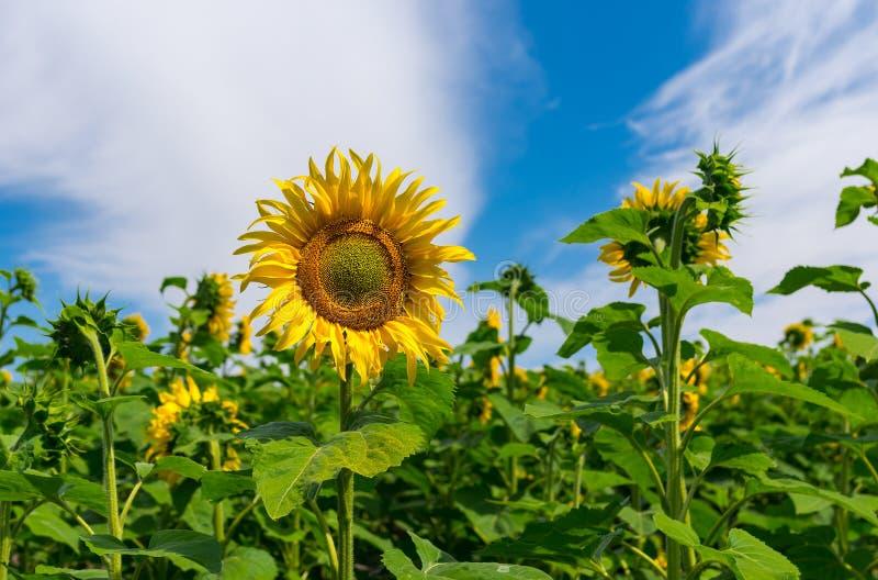 Plan rapproché de gisement de tournesol au temps fleurissant photo libre de droits