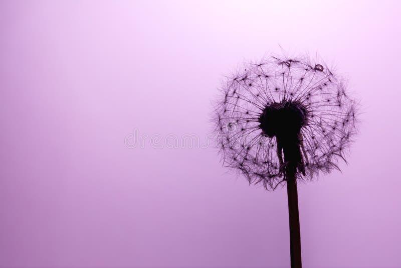 Plan rapproché de graines de pissenlit macro au soleil sur un pourpre doux, fond ultra-violet All?gorie de la puret? et de la l?g images libres de droits