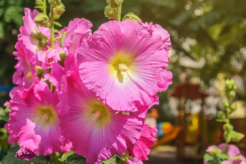 Plan rapproché de grandes fleurs lumineuses de mauve ou de malva rose un jour ensoleillé d'été Fleurs avec les pétales roses pour photographie stock libre de droits