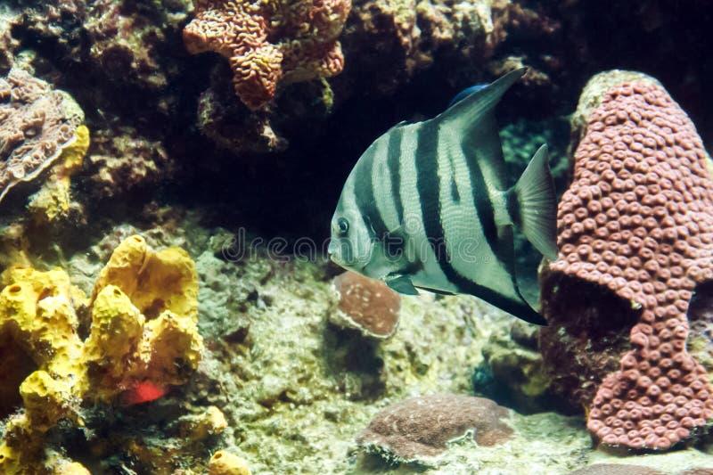 Plan rapproché de Gray Angelfish photos stock
