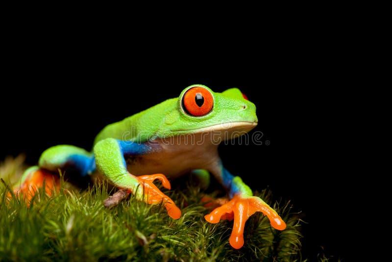 Plan rapproché de grenouille sur le noir photographie stock