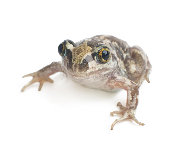 Plan rapproché de grenouille verte photo stock
