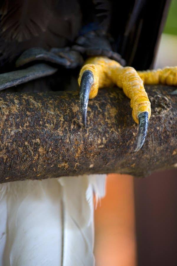 Plan rapproché de griffes d'un aigle chauve américain à tête blanche photo libre de droits
